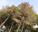Cronaca di una strage di pini annunciata (in Commissione ambiente)