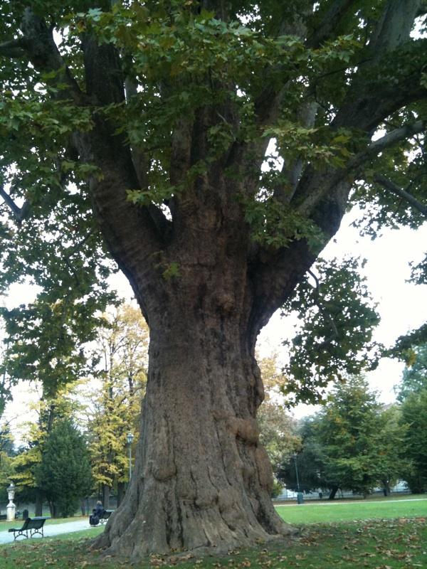albero secolare light