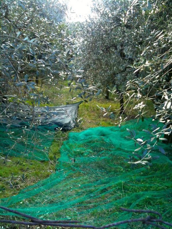 morena ulivi