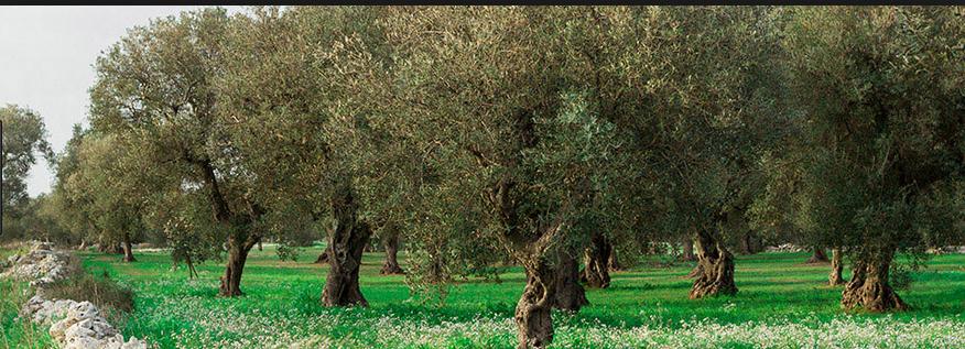 dals ito http://www.acquaricadilecce.it/ulivi-secolari-macchia-mediterranea