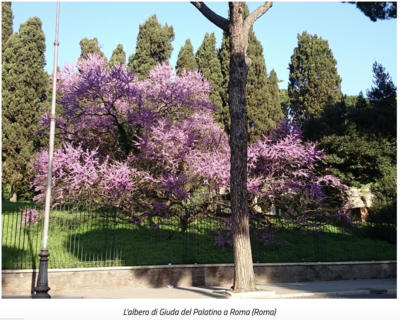 L'albero di Giuda del Palatino a Roma (Roma) dals ito min pol agricole