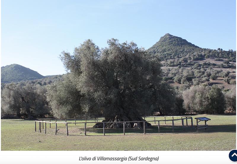 L'olivo di Villamassargia (Sud Sardegna) dal sito min pol agricole